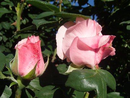 FOTKA - dve ružové