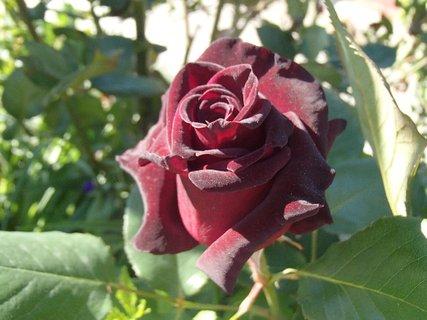 FOTKA - sametová ružička