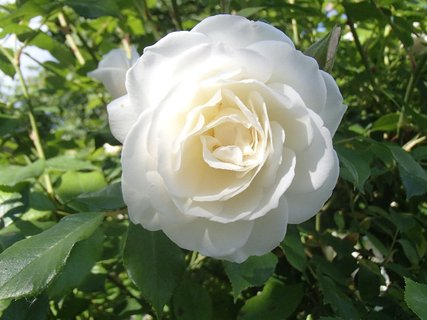 FOTKA - biela ružička