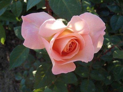 FOTKA - jemná ružová