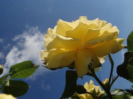 FOTKA - ruža v oblakoch