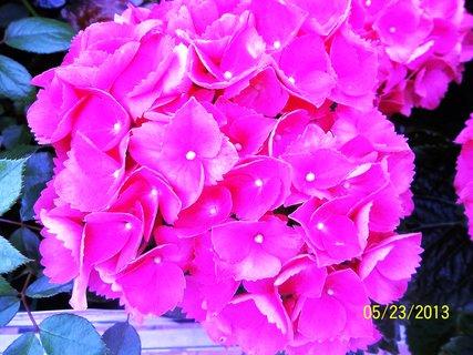 FOTKA - Hortenzie z květináče.