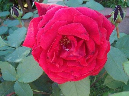 FOTKA - červená ružička