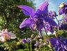 modrý květ orlíčku