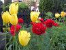 koprolistá pivoňka a žluté tulipány