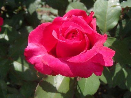 FOTKA - červená ruža na slnku