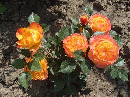 FOTKA - oranžové miniruže
