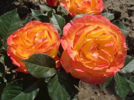 FOTKA - dve oranžové ružičky