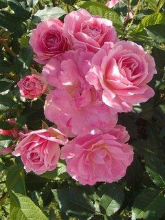 FOTKA - ružové ruže