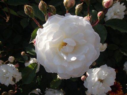 FOTKA - aj biela ešte bude kvitnúť