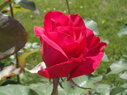 FOTKA - ruža vínovej farby