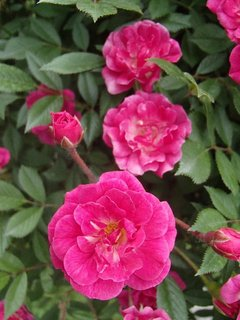 FOTKA - aj drobné ružičky sú pekné