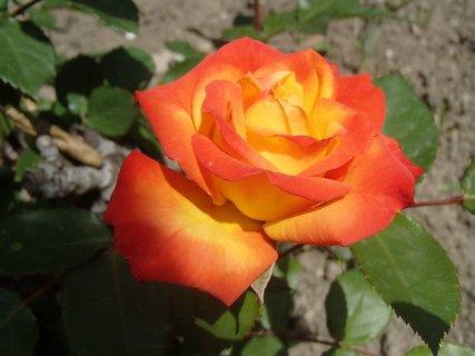 FOTKA - žlto oranžová ruža