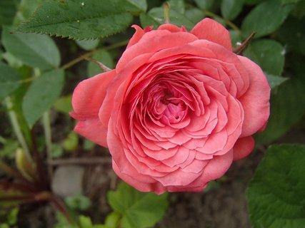 FOTKA - plná ruža