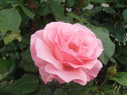 FOTKA - ružová kráska