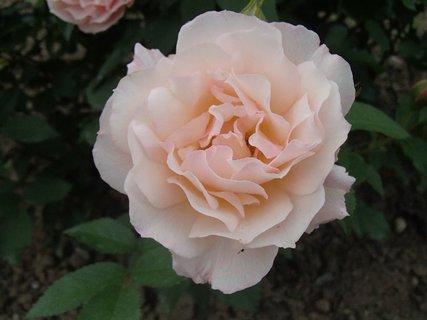 FOTKA - nežná farba ruže