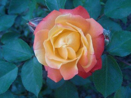 FOTKA - dvojfarebná ružička
