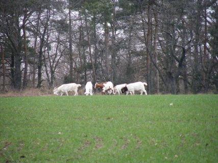 FOTKA - stádo koz