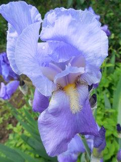 FOTKA - kosatec v plném květu