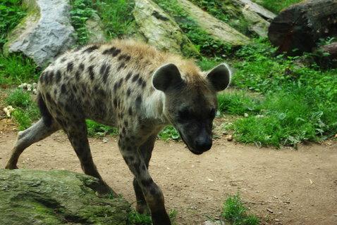 FOTKA - Hyena skvrnitá