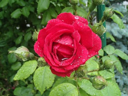 FOTKA - uplakaná ružička