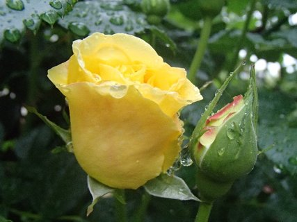 FOTKA - kvapky dažďa na ruži