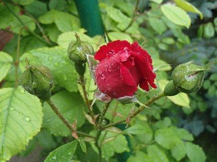 FOTKA - zmoknutý puk ruže