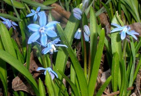 FOTKA - Ladoňky kvetou