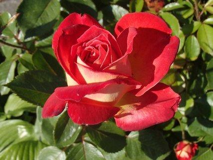 FOTKA - ruža na slniečku