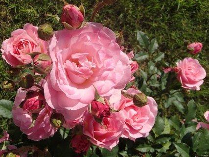 FOTKA - ružový trs ruží