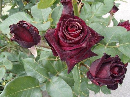 FOTKA - tri sametové ruže