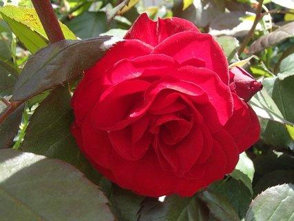 FOTKA - krvavočervená ruža