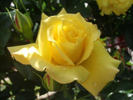 FOTKA - ruža s kvapkami
