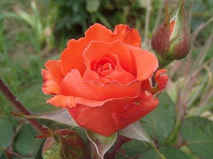 FOTKA - oranžová ružička
