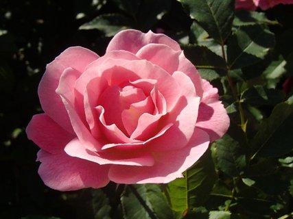 FOTKA - ružová v polotieni