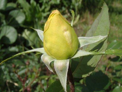 FOTKA - puk zelenej ruže