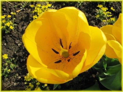 FOTKA - Žlutý vnitřek tulipánu