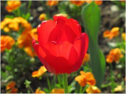 FOTKA - Silueta červeného květu tulipánu