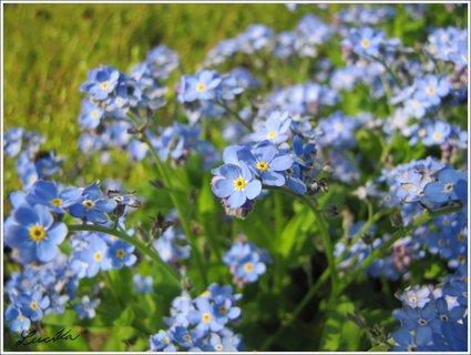 FOTKA - Modré kvítky pomněnky