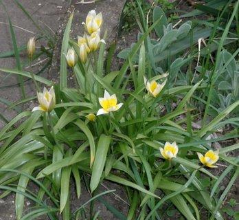 FOTKA - Malé tulipánky