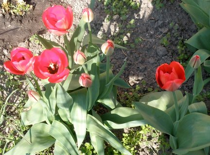 FOTKA - Tulipány s poupaty