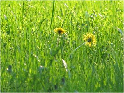 FOTKA - Dvě žluté pampelišky v trávě