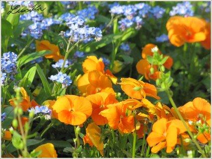 FOTKA - Modré a oranžové květy