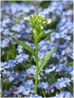 FOTKA - Vyšší rostlina mezi pomněnkami