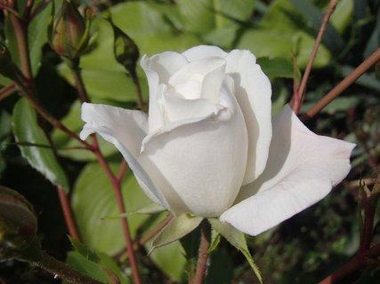 FOTKA - biela kráska