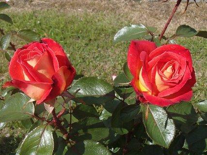 FOTKA - dve dvojfarebné ruže