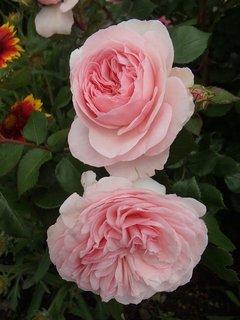 FOTKA - dve ružové plné ruže