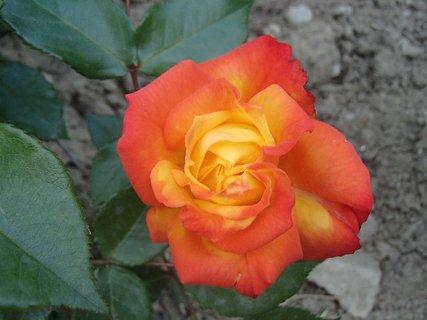 FOTKA - oranžovožltá ruža
