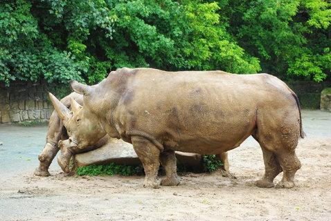 FOTKA - Nosorožci ...