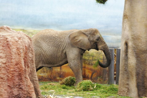 FOTKA - Slon africký ..